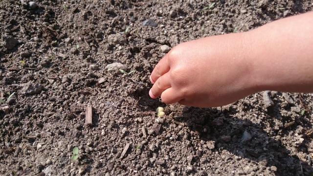 枝豆は3粒程度まとめて植える