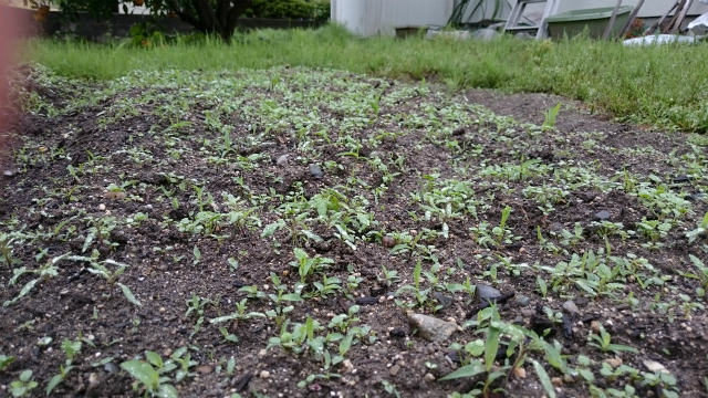 家庭菜園の雑草取りはこまめに